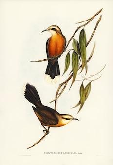 Pomatorhinus-de-peito-vermelho