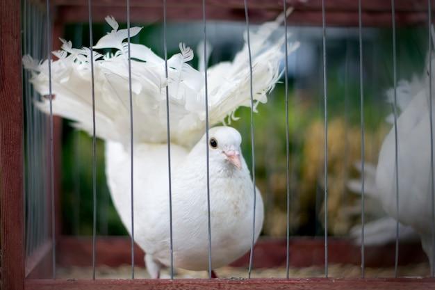 Pomba branca em uma gaiola.