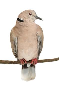 Pomba-coleira-euro-asiática empoleirada em um galho, streptopelia decaocto, frequentemente chamada de pomba-coleira contra o espaço em branco