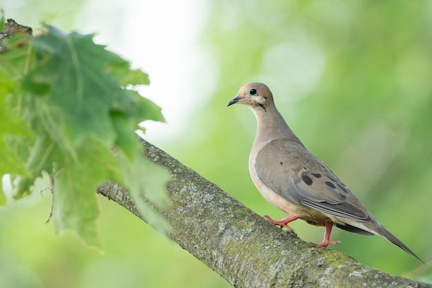 Pomba da manhã sentada no galho de uma árvore