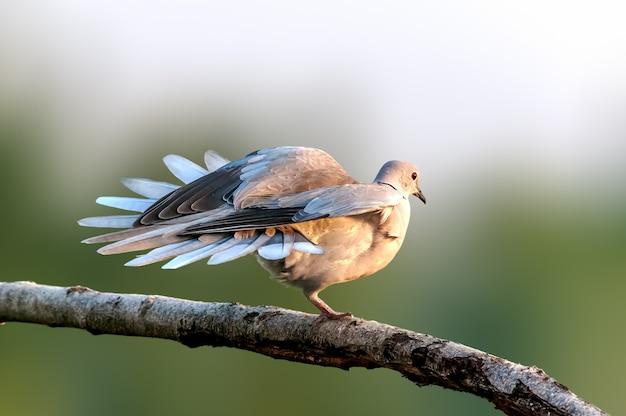 Pomba de colarinho da eurásia sentado em um galho de árvore fazendo yoga