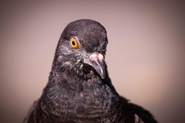 Pomba preta de perto em um fundo marrom escuro