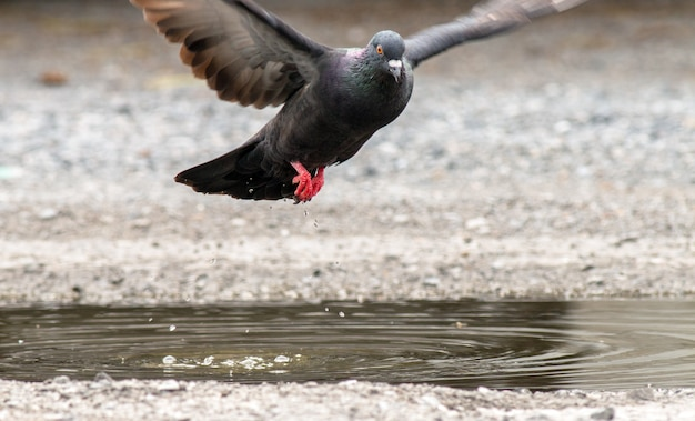 Pomba tailandesa voando depois de beber água