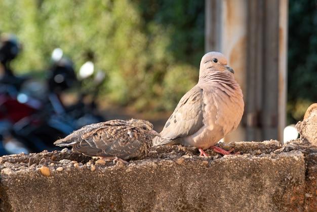 Pombas, detalhes de pombas mãe e bebê na parede, luz natural, foco seletivo.