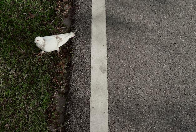 Pombo andando na rua