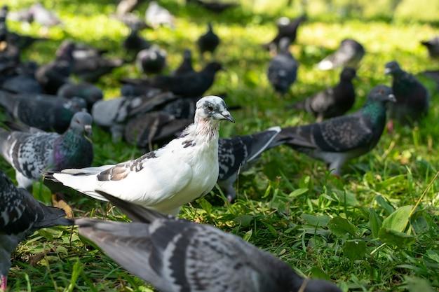 Pombo branco entre os cinzentos no parque na grama