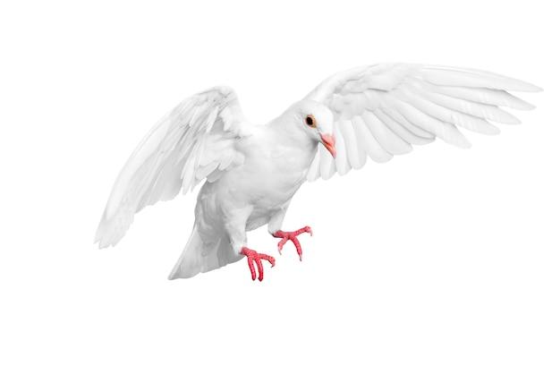 Pombo branco voando isolado sobre fundo branco