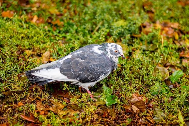 Pombo cinza na grama molhada durante a chuva