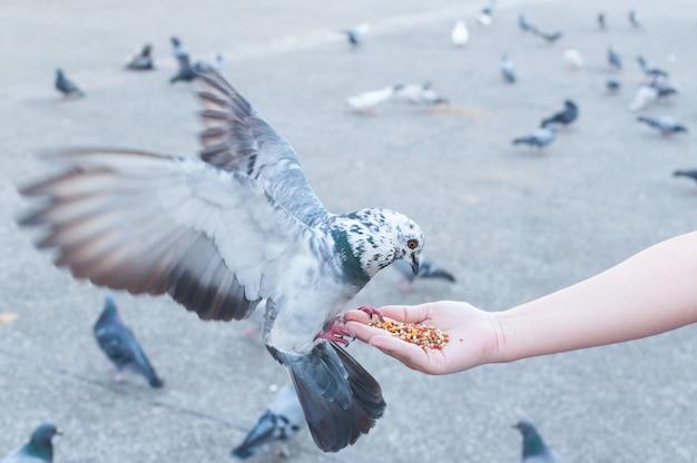 Pombo comendo da mão de uma mulher no parque, alimentando pombos no parque durante o dia