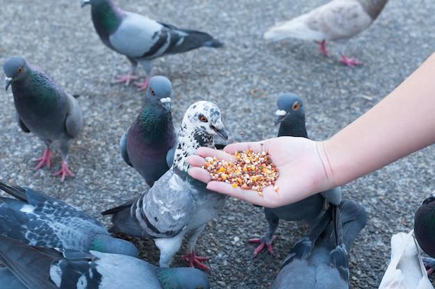Pombo comendo da mão de uma mulher no parque,