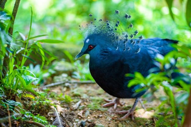 Pombo coroado incomum em um parque verde. beleza da natureza. observação de pássaros