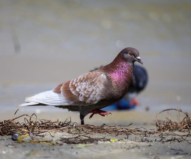 Pombo da cidade anda no chão em um dia de verão, penas roxas