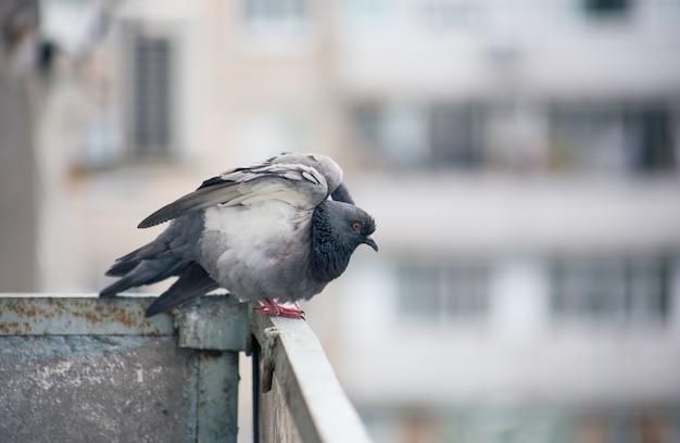Pombo da cidade sentado em uma cerca na rua