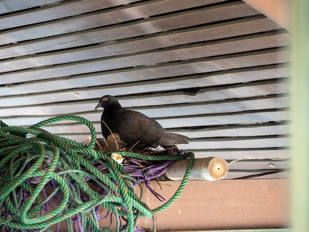 Pombo e bebê no ninho sob o telhado no grupo em manto de náilon e rede roxa