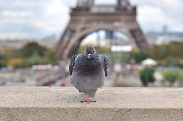 Pombo em paris