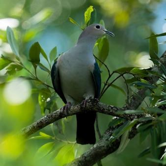 Pombo imperial verde