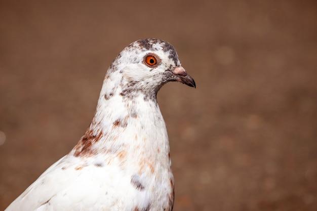 Pombo manchado de branco de perto sobre um fundo marrom escuro