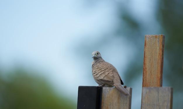 Pombo marrom na cerca de madeira, olhando para a câmera