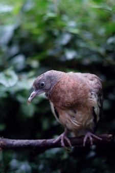 Pombo-torcaz comum, um filhote no parque