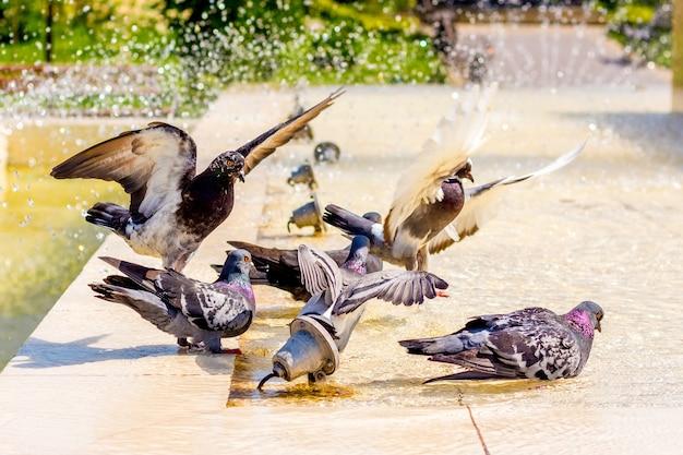 Pombos bebem água em um dia quente na fonte e procuram frescor_