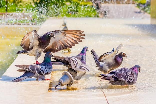 Pombos bebem água na fonte e procuram frescor em um dia quente_