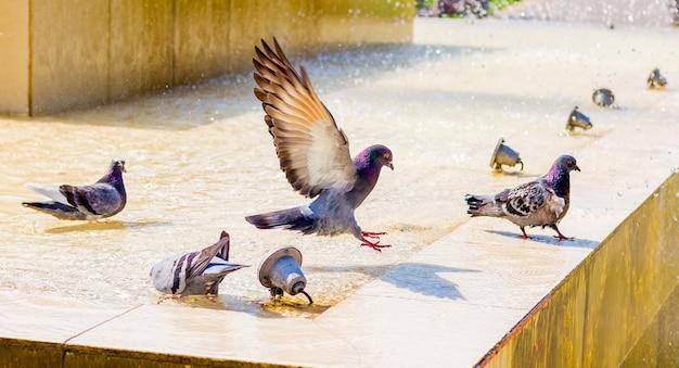 Pombos bebem água na fonte e procuram frescor em um dia quente_ Foto Premium