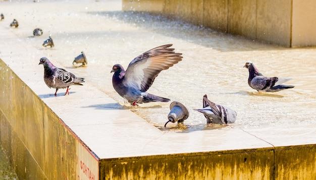 Pombos bebem água na fonte e procuram frescor em um dia quente