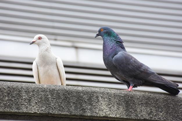 Pombos brancos e marrons se agarram no chão da cidade com fundo da cidade