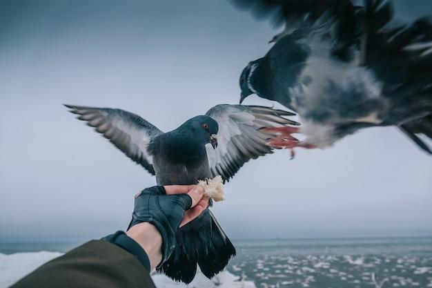 Pombos comem pão da mão