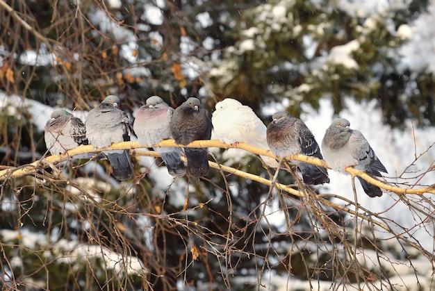 Pombos em um galho de bétula pássaros cinzentos e brancos enrugaram sua plumagem no inverno frio
