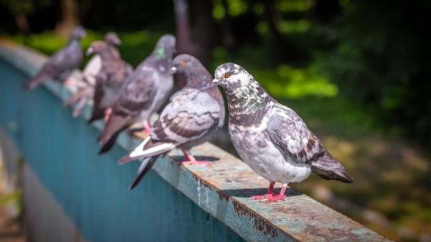Pombos em uma cerca de metal