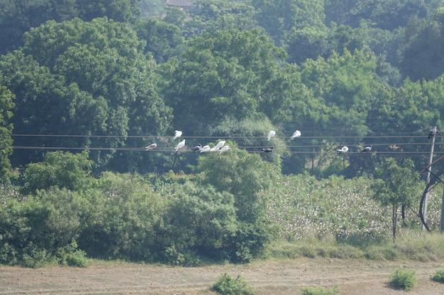 Pombos empoleirado em cabos de alta tensão