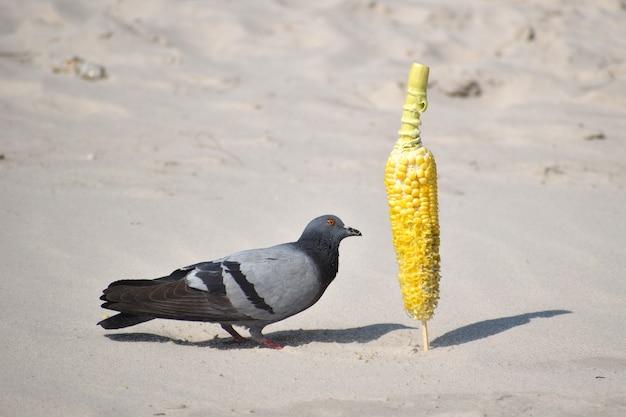 Pombos na praia comem milho.