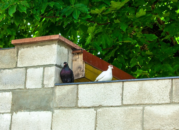 Pombos preto e branco em uma parede de tijolos em uma cidade europeia