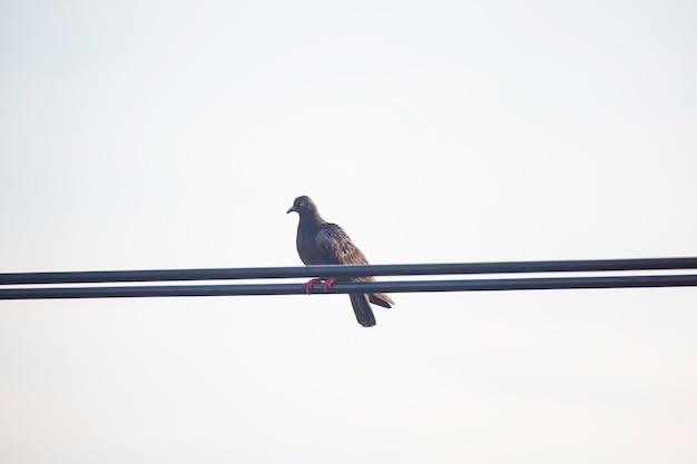 Pombos sentados no fio elétrico do arranha-céu. pássaros na linha de energia. pombo calmo com fio elétrico.
