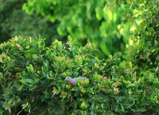 Pombos verdes grosso-faturados colhendo frutas em uma árvore na luz solar da noite, tailândia