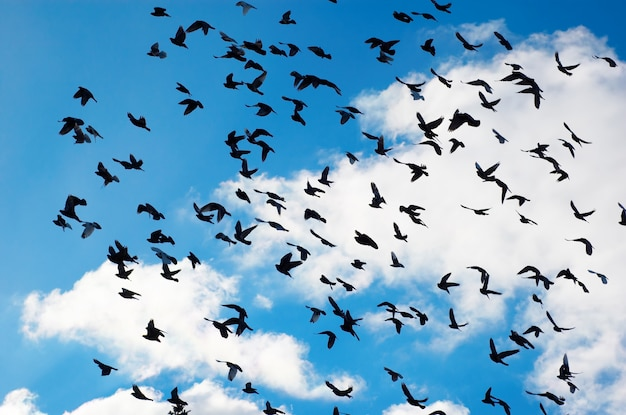 Pombos voando