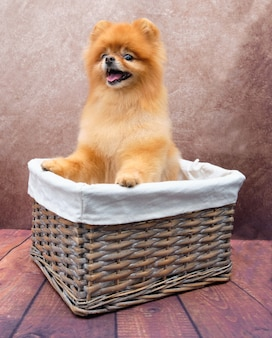 Pomerânia em uma cesta em uma vista frontal vintage. o cachorro fica de pé nas patas traseiras