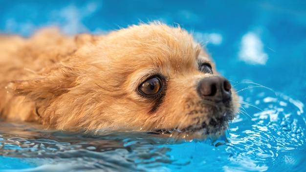 Pomerânia nadando em uma piscina