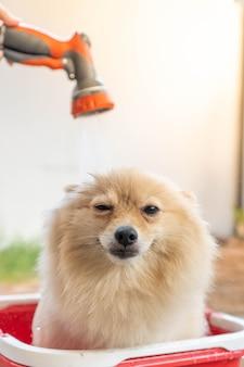 Pomerânia ou raça de cachorro pequeno foi tomado pelo dono e colocado em um balde vermelho colocado no chão de concreto