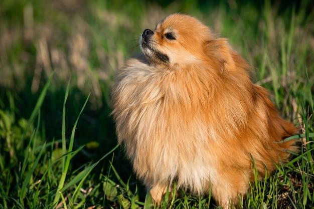 Pomerânia vermelha bonita no fundo da grama verde, ao ar livre. dia de sol o cachorro sorri