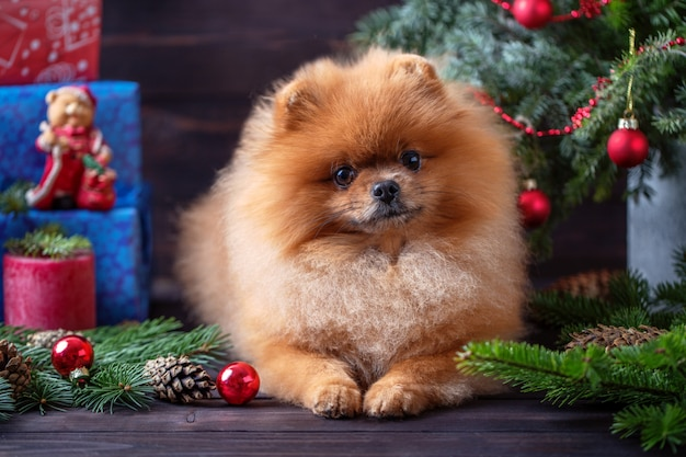 Pomeranian cachorro em decorações de natal no fundo escuro de madeira