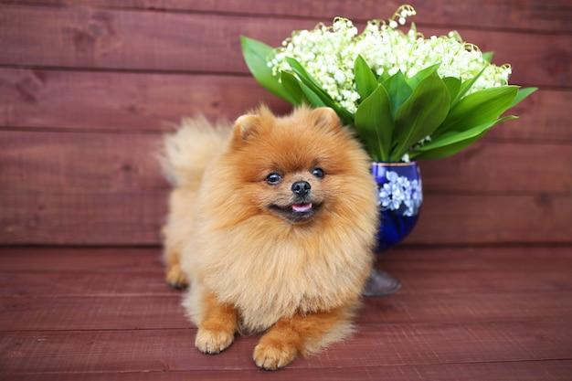 Pomeranian cachorro em fundo de madeira. lindo cão interior. cachorro feliz. cachorro com flores