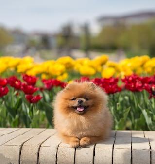 Pomeranian cachorro em tulipas. cachorro com flores em um parque