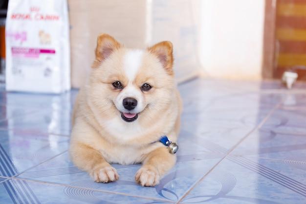 Pomeranian cachorro olhando para a frente