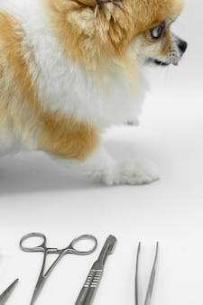 Pomeranian cachorro sentado no chão branco com borrão materiais cirúrgicos