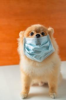 Pomeranian, cães de raças pequenas, colocar uma máscara de saúde sentar em uma mesa branca