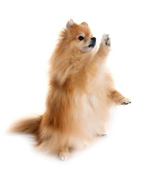 Pomeranian em estúdio