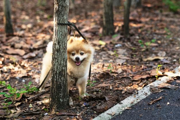 Pomeranian esperando por seu dono