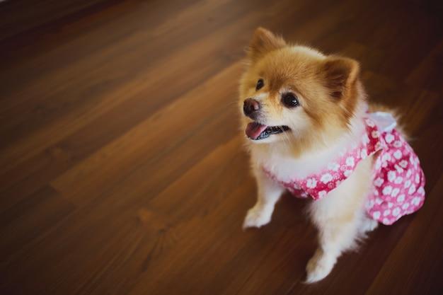 Pomeranian pequeno bonito no vestido cor-de-rosa.